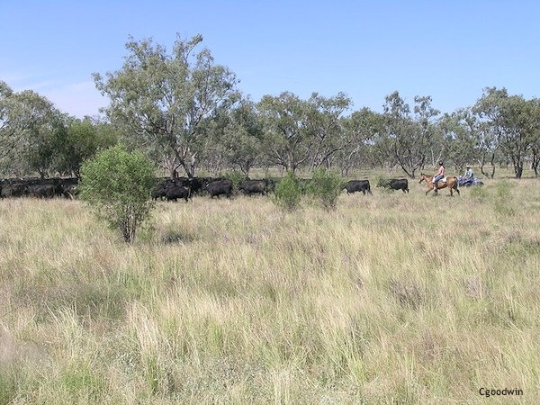 507 Two styles of cattle droving