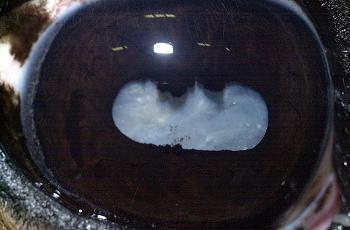829_equine_cataract